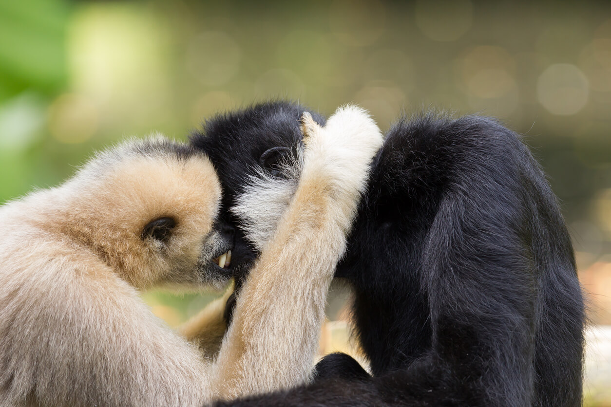 Gibbons and other animals who mate for life