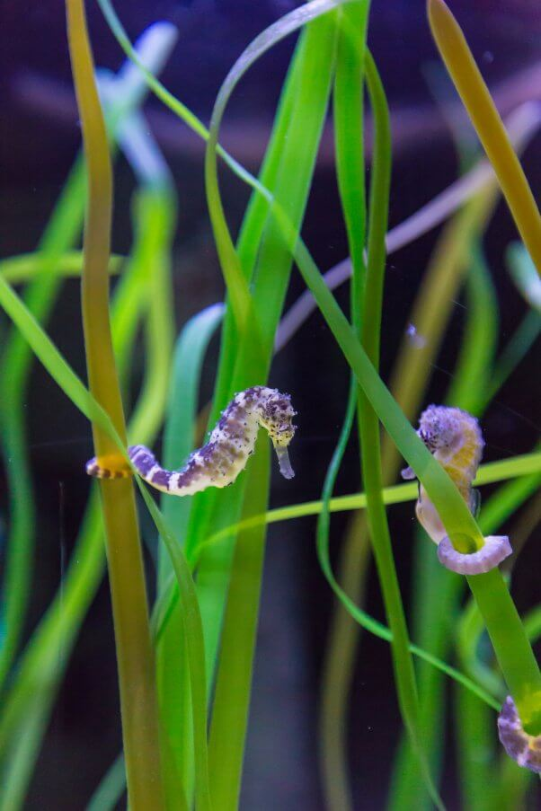 Two Seahorses With Tails Wrapped Around Seaweed