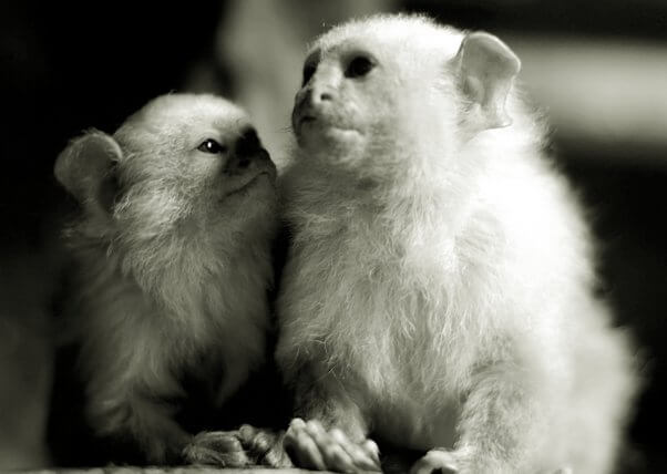 Two Marmosets Snuggling
