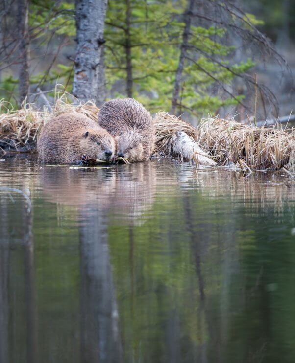Beaver Couple on the Shore