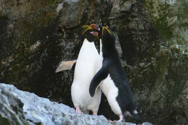 Two Macaroni Penguins Embracing