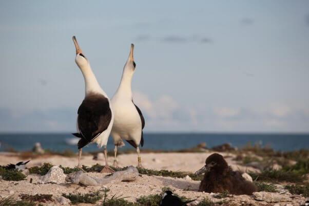 Two Laysan Albatrosses Performing Annual Couples Dance