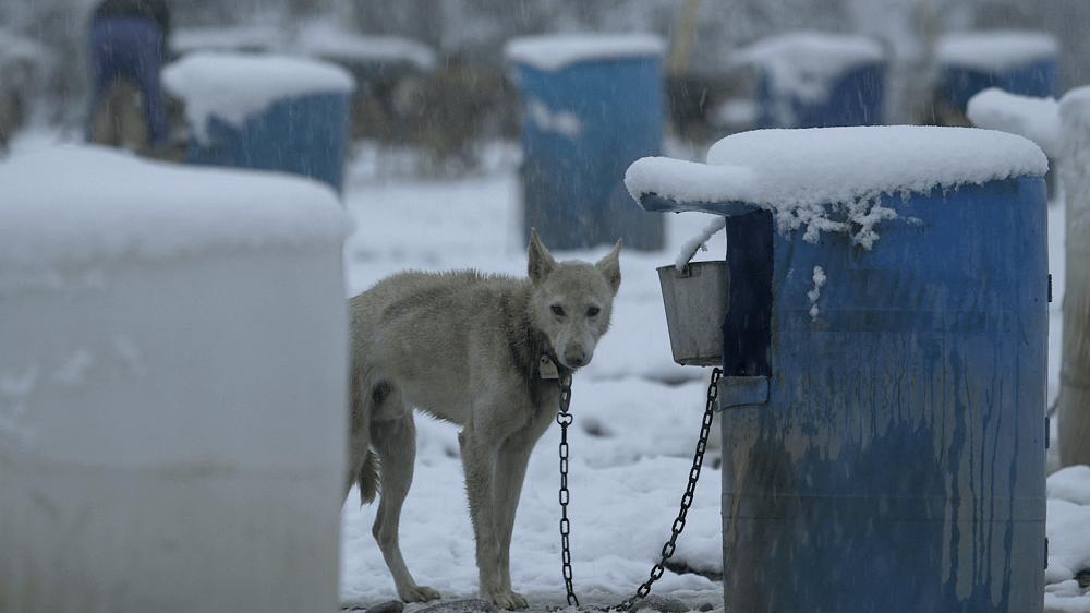 worst iditarod mushers 2020 Mitch-Seavey-chained-dog-in-snow
