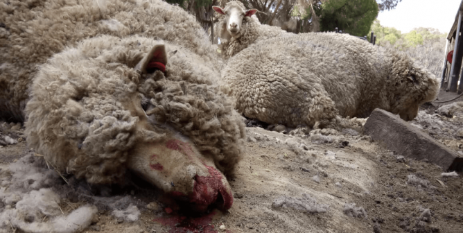 PETA's 5th Australian Wool Exposé Leads to Guilty Plea to Cruelty Charge