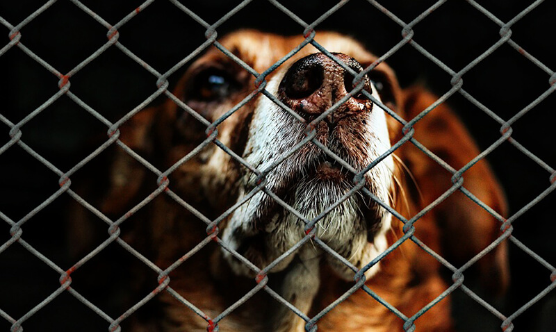 A close-up portrait of a brown dog with a white muzzle as he looks through a metal chain-link fence.