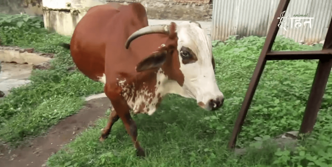 Watch as Animal Rahat Helps a Scared Mother Cow Limping in Pain