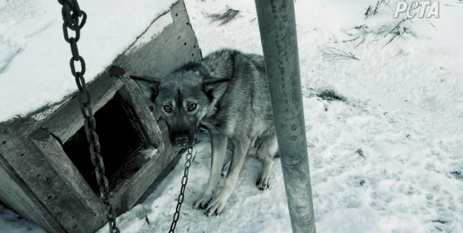 Iditarod: Dogs' P.O.V.