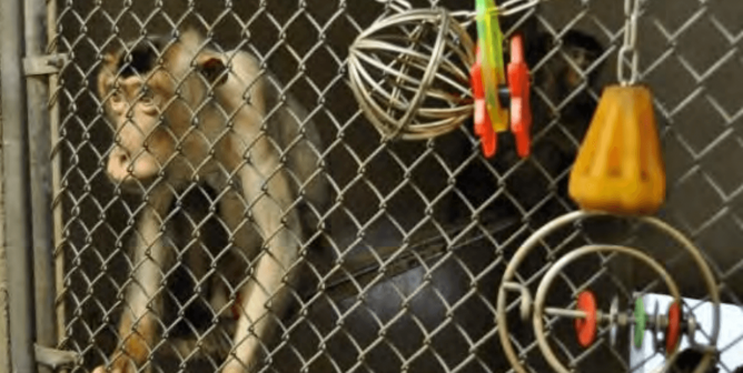 From One Hellhole to Another: Johns Hopkins Buys 31 Monkeys From WNPRC
