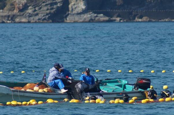 Taiji Dolphin Slaughter and Capture