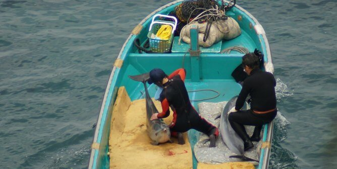 As Taiji Slaughter Closes, How Many Dolphins Were Killed or Kidnapped?