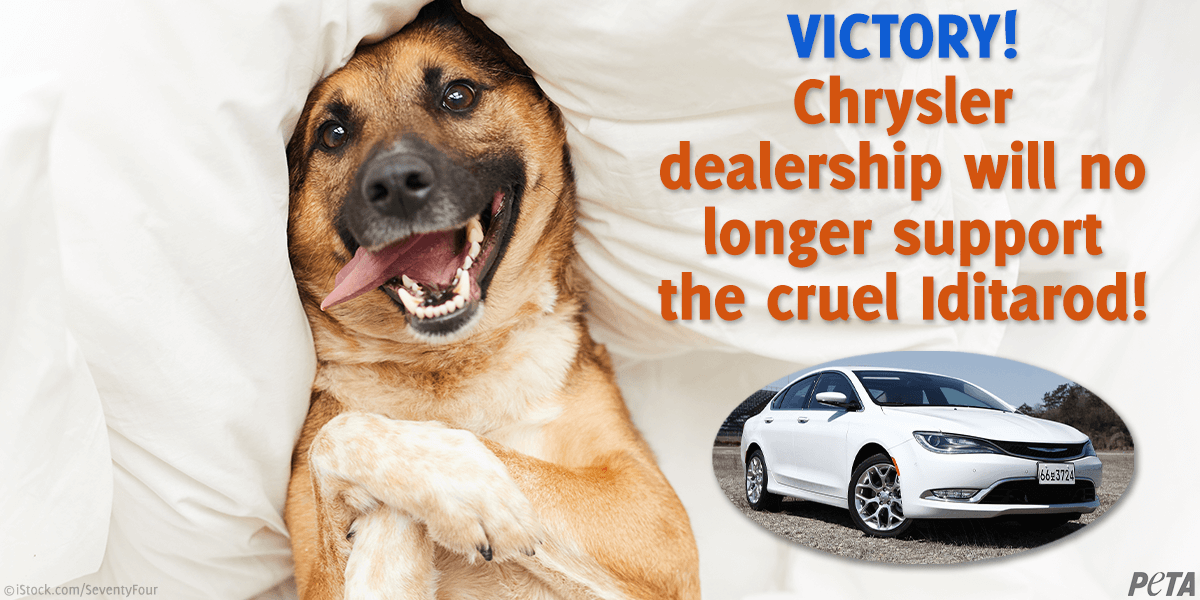 """Photo of happy dog and Chrysler car with text """"Victory! Chrysler dealership will no longer support the cruel Iditarod"""