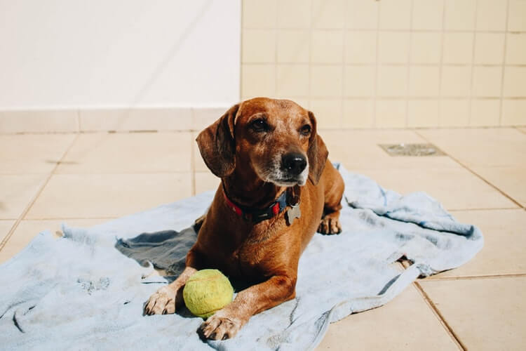 Brown dog sits on a blue blanket with a tennis ball