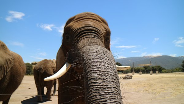 Three Elephants Have Died at the Monterey Zoo, and Now Butch Is All Alone—Help Him Today!
