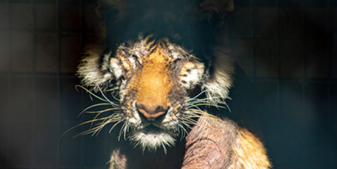 Lila the Tiger and 9 Others Who Deserve So Much Better Than Waccatee Zoo