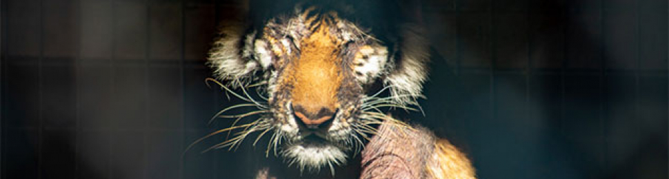 Waccatee Zoo, Lila the tiger with severe hair loss