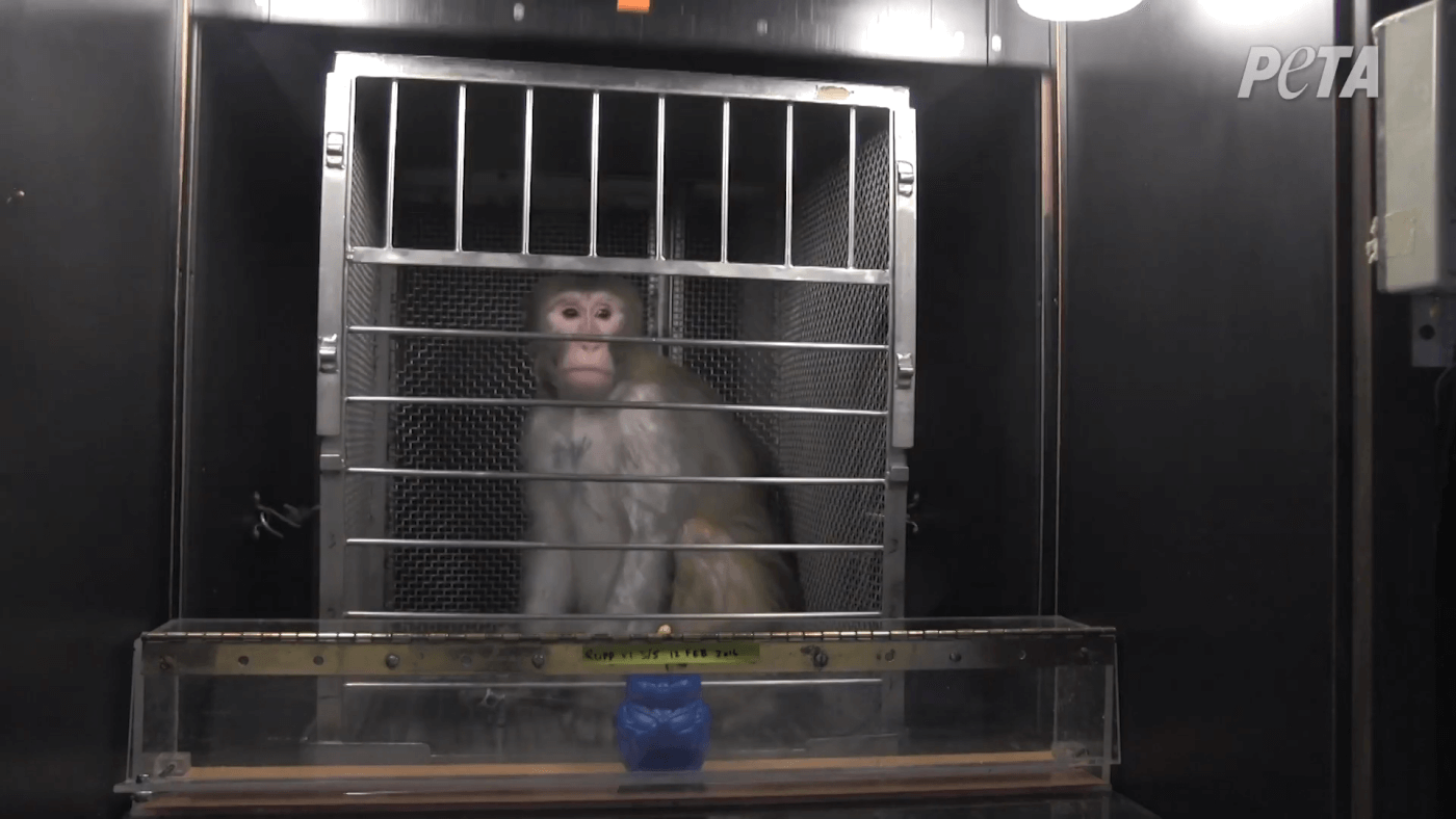 coronavirus covid-19 monkey outbreak possible at seattle area primate research center