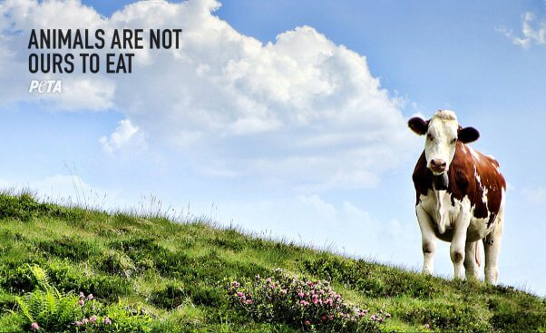 PETA Zoom Background with cow