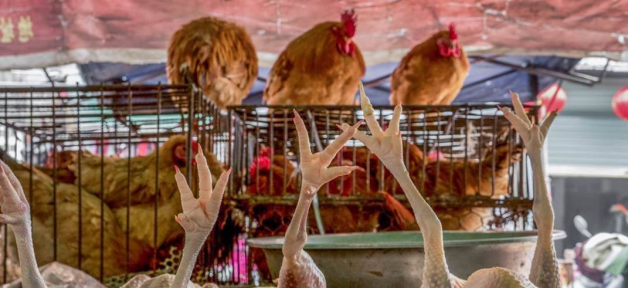 Live chickens hover in cages above the bodies of skinned, dead chickens