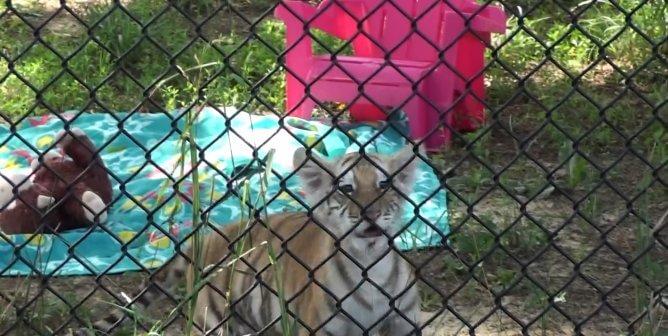 Victory! Virginia Passes Law to End Cruel Tiger Cub Petting Encounters