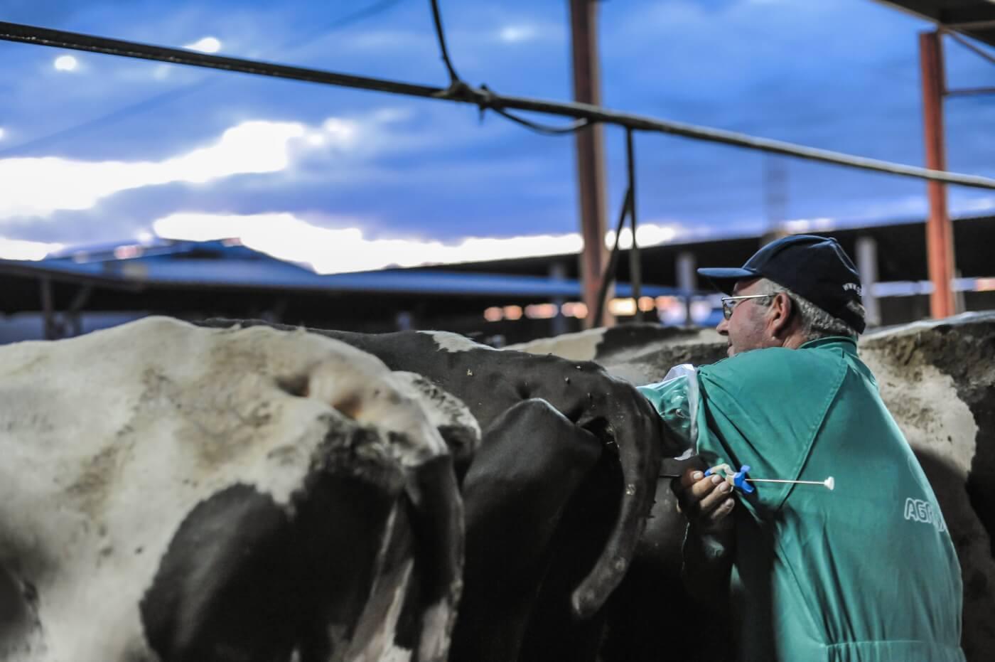"""cow on """"organic"""" dairy farm"""