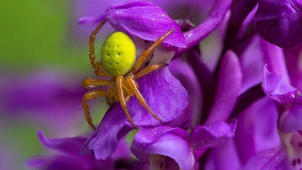 Pumpkin spider on a purple flower