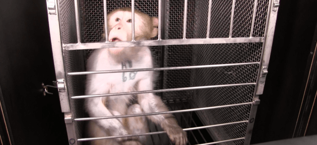 monkey named wilfork used in NIH experiments
