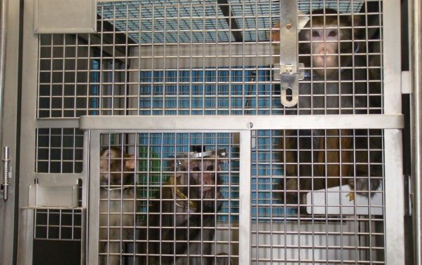 Monkeys trapped in cage
