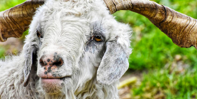 PETA Invests in Sheep's and Goats' Futures During COVID-19 Market Slump
