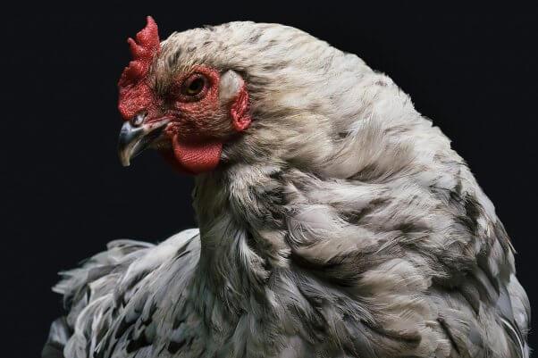 Chicken with black background