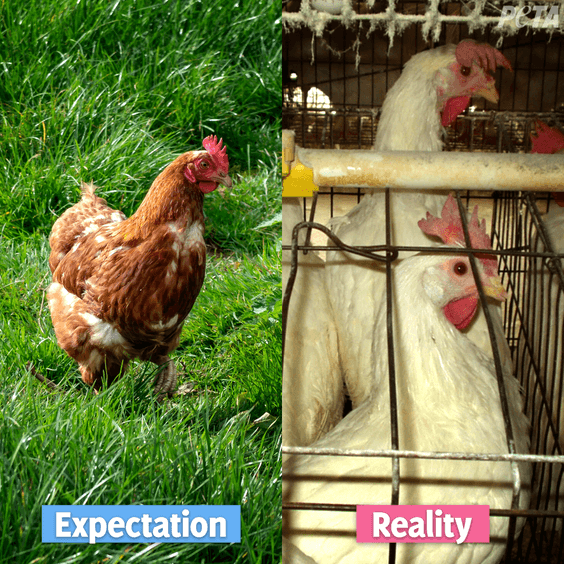 Expectation reality chickens laying eggs