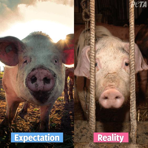 Expectation reality pigs on farm