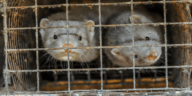 Minks in cage