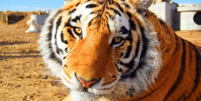 Mo the tiger stares at the camera