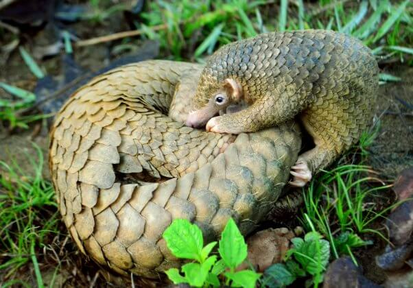 pangolin pup curled up with their mother