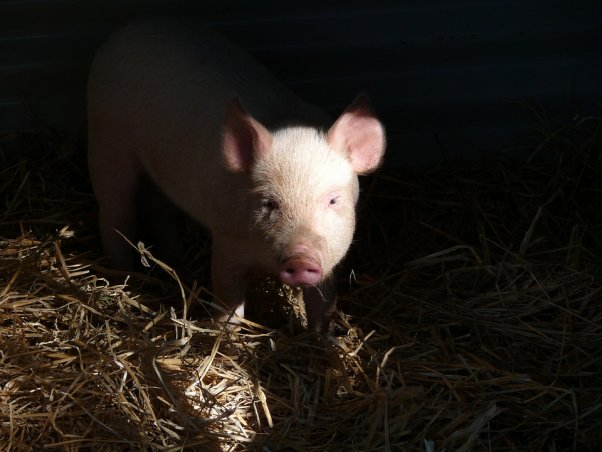 Pig with black background