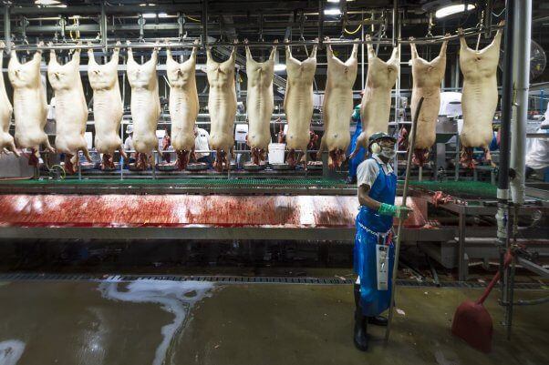 Slaughterhouse worker stands in front of pig corpses