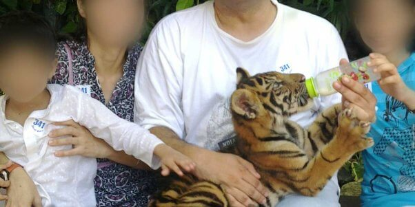 tiger cub petting