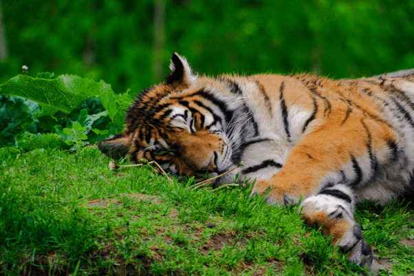 Tiger laying in grass