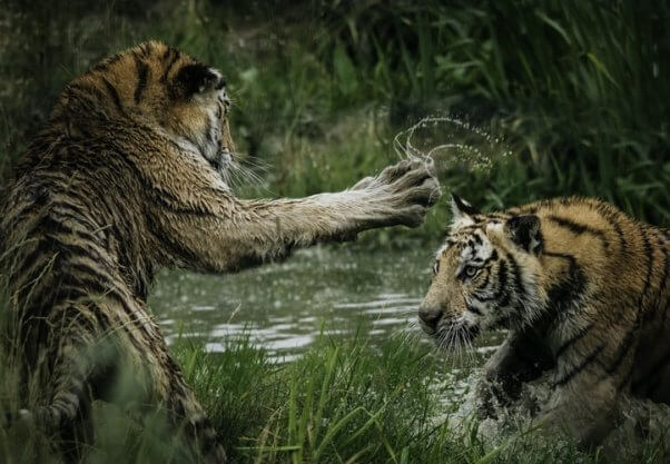 Fact: tigers play in water