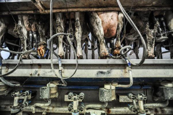 Cows attached to milking machine