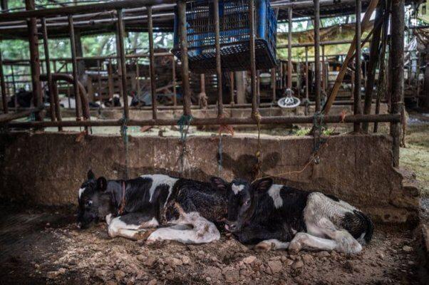 Calves tethered at dairy farm