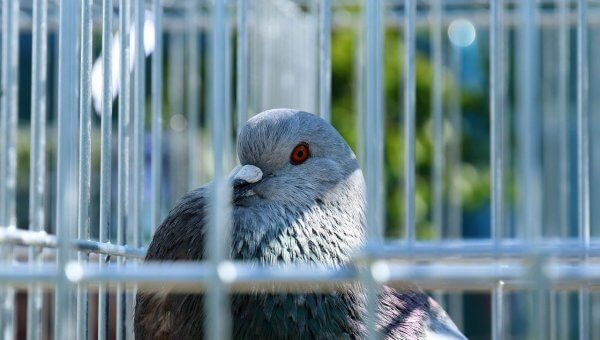 Urge Las Vegas Residence to End Pigeon Trapping!