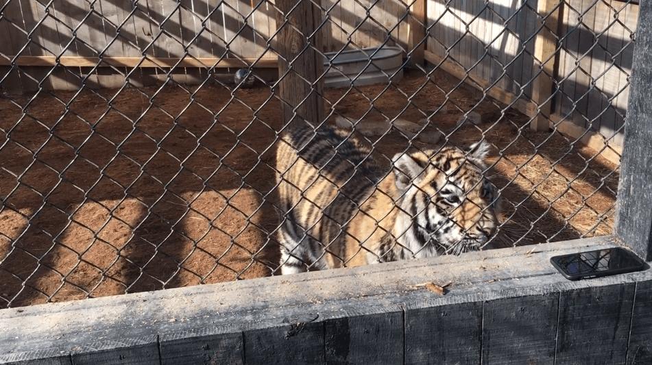 Lily, a tiger, at roadside zoo Walnut Prairie Wildside