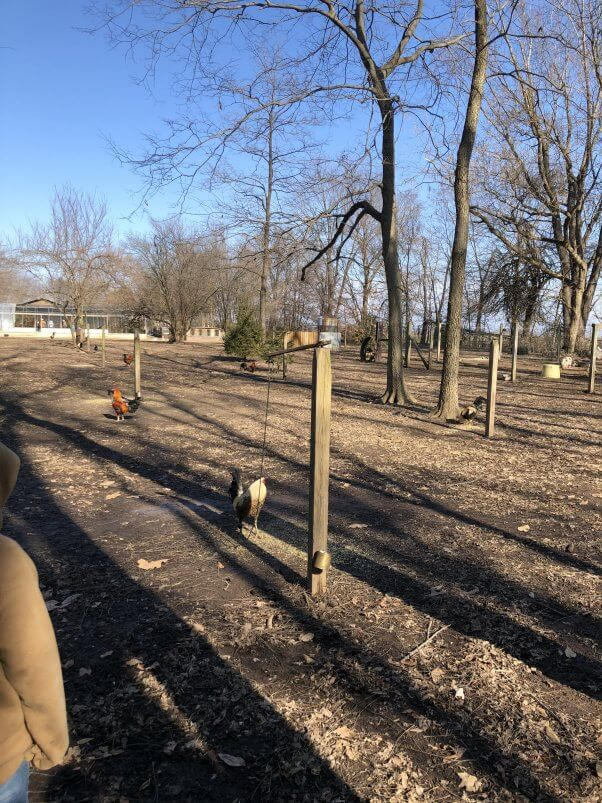 roosters tied to stakes at roadside zoo Walnut Prairie Wildside
