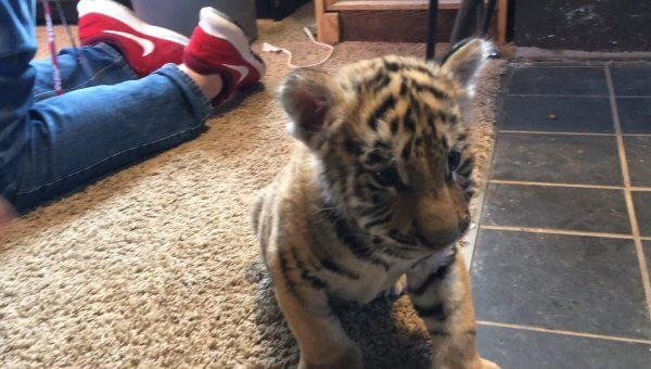 Tell Walnut Prairie Wildside to Stop Treating Tiger and Cougar Cubs Like Toys