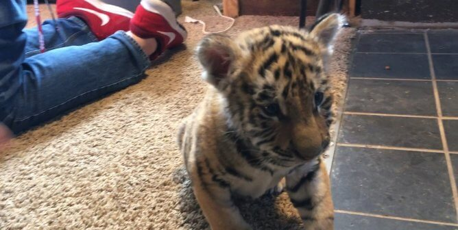 Tell Walnut Prairie Wildside to Stop Treating Tiger Cubs Like Toys