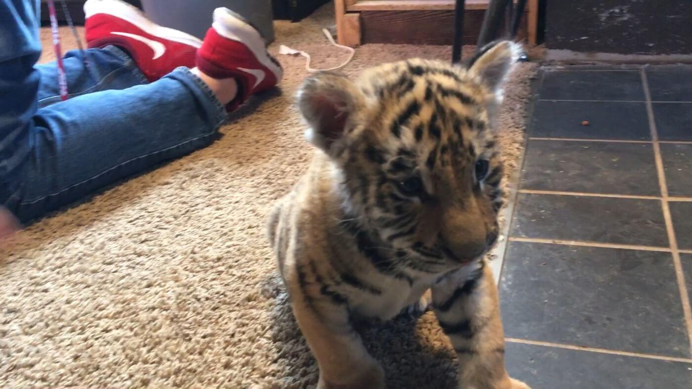 tiger cub at roadside zoo Walnut Prairie Wildside