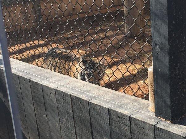 Tiger, a tiger, at roadside zoo Walnut Prairie Wildside