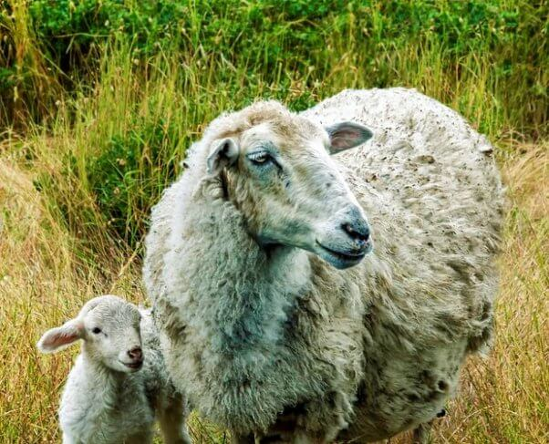 Adult and baby sheep in field