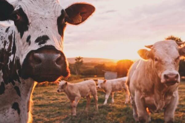 Kroger vegan cheese saves cows